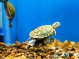 memberi-makan-kura-kura