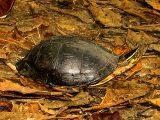 memberi-makan-kura-kura-ambon