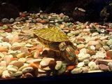memberi-makan-kura-kura-brazil