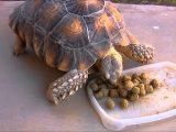 memberi-makan-kura-kura-dengan-pelet