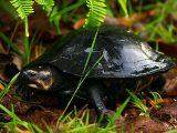 memberi-makan-kura-kura-piput