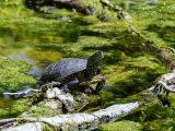 membersihkan-kolam-kura-kura
