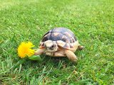 memelihara-kura-kura-marginata