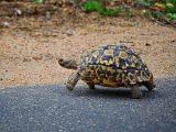 memelihara-kura-kura-tortoise