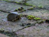 menangani-kura-kura-terjatuh
