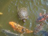 mencampurkan-kura-kura-dan-ikan