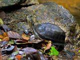 mencari-kura-kura-ambon