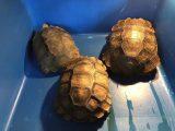 mencerahkan-kura-kura-emys