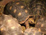 mencerahkan-kura-kura-red-foot