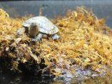 mengapa-kura-kura-bersuara