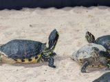 mengatasi-kura-kura-berkelahi