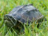 mengatasi-shell-rot-kura-kura