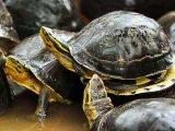 mengawinkan-kura-kura-ambon