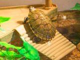 menghias-aquarium-kura-kura