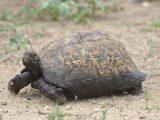 menghilangkan-bau-kura-kura