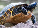 mengobati-penyakit-katarak-kura-kura