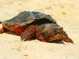 mengobati-tempurung-kura-kura