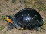 menjinakkan-kura-kura-ambon
