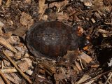 merawat-kura-kura-ambon-ceper