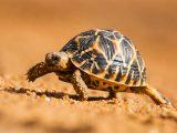 merawat-kura-kura-bintang-india