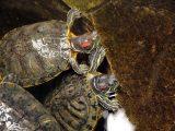 merawat-kura-kura-brazil-dewasa