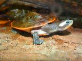 merawat-kura-kura-dada-merah