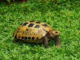 merawat-kura-kura-forsteni