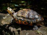 merawat-kura-kura-ganti-kulit