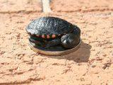 merawat-kura-kura-leher-panjang