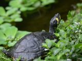 merawat-kura-kura-picta-belly