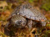 merawat-kura-kura-razorback