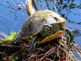 merawat-kura-kura-red-belly