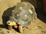 merawat-kura-kura-yellow-footed