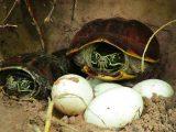 merawat-telur-kura-kura