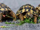 nafsu-makan-kura-kura