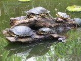 panduan-budidaya-kura-kura-brazil
