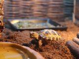 panduan-memelihara-russian-tortoise
