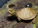 penanganan-kura-kura-online