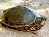 penyebab-kura-kura-diam-saja