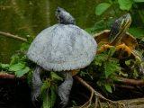 predator-kura-kura