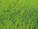 rumput-bermuda-untuk-kura-kura