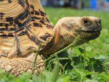 sembelit-pada-kura-kura