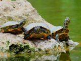 syarat-kandang-kura-kura-brazil