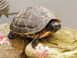 tanaman-sintetis-kura-kura