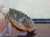 tempurung-kura-kura-lembek