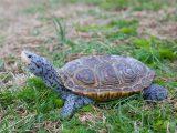 tempurung-kura-kura-mengelupas
