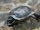 tempurung-kura-kura-menjadi-lunak