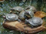 trik-merawat-kolam-kura-kura